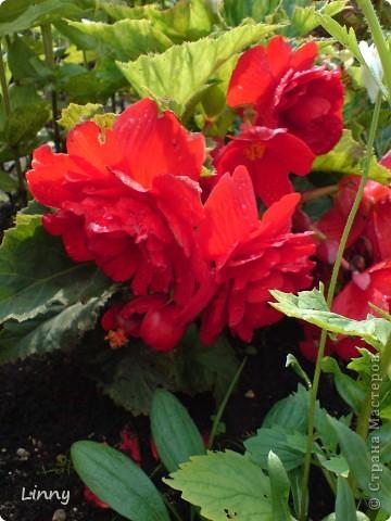 Садовая гвоздика фото 14