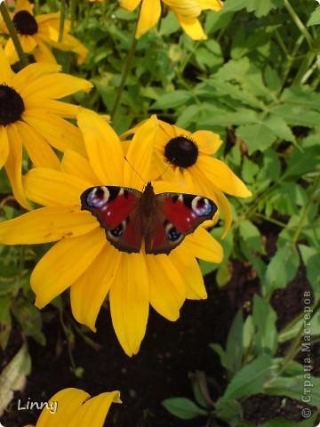 Садовая гвоздика фото 18