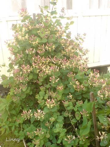 Садовая гвоздика фото 26