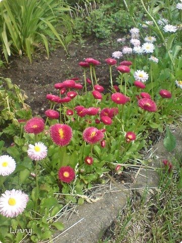 Садовая гвоздика фото 27