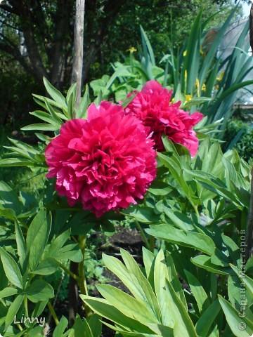 Садовая гвоздика фото 31