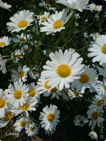 Садовая гвоздика фото 16