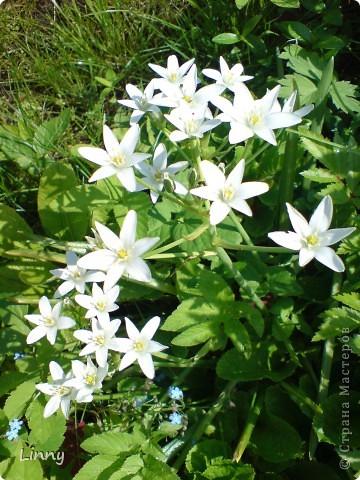 Садовая гвоздика фото 33