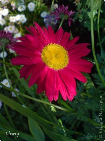 Садовая гвоздика фото 20