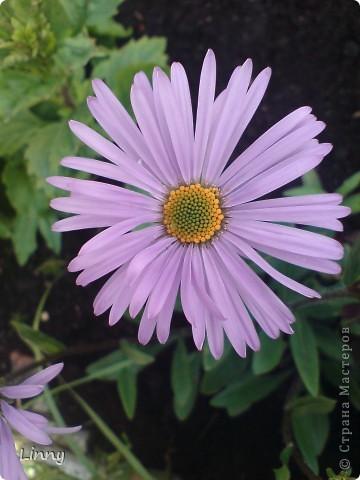 Садовая гвоздика фото 19