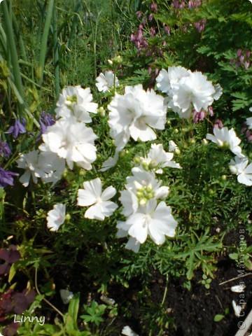 Садовая гвоздика фото 34