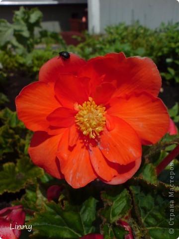 Садовая гвоздика фото 15