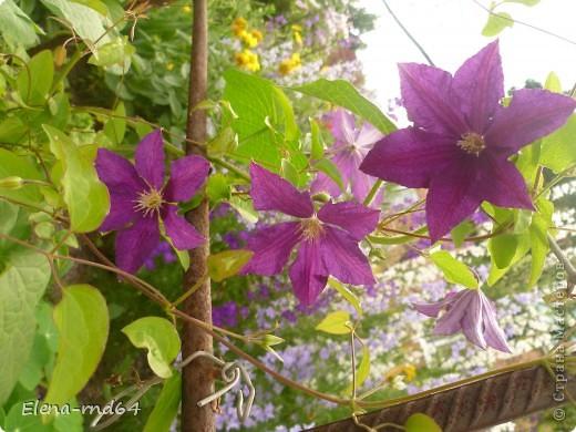 Рада встрече со всеми и приглашаю взглянуть на одни из моих любимых цветов-это клематисы! Нет, цветы я люблю все без исключения,но клематисы......Это-,,Надежда,, фото 8