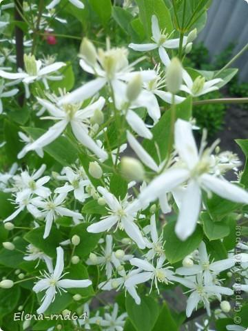 Рада встрече со всеми и приглашаю взглянуть на одни из моих любимых цветов-это клематисы! Нет, цветы я люблю все без исключения,но клематисы......Это-,,Надежда,, фото 13