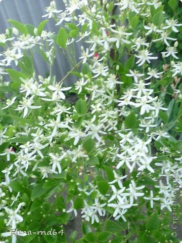 Рада встрече со всеми и приглашаю взглянуть на одни из моих любимых цветов-это клематисы! Нет, цветы я люблю все без исключения,но клематисы......Это-,,Надежда,, фото 14