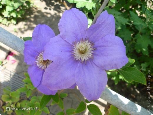 Рада встрече со всеми и приглашаю взглянуть на одни из моих любимых цветов-это клематисы! Нет, цветы я люблю все без исключения,но клематисы......Это-,,Надежда,, фото 15