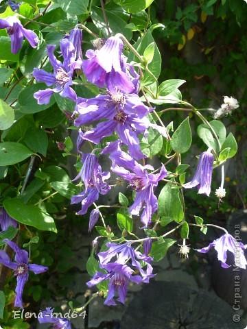 Рада встрече со всеми и приглашаю взглянуть на одни из моих любимых цветов-это клематисы! Нет, цветы я люблю все без исключения,но клематисы......Это-,,Надежда,, фото 11