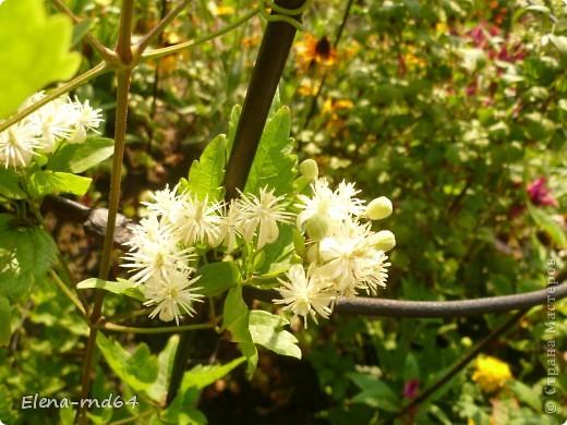 Рада встрече со всеми и приглашаю взглянуть на одни из моих любимых цветов-это клематисы! Нет, цветы я люблю все без исключения,но клематисы......Это-,,Надежда,, фото 16
