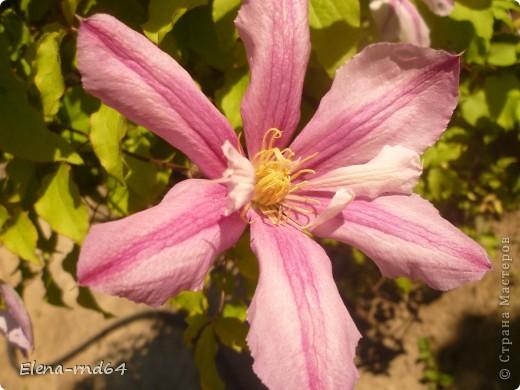 Рада встрече со всеми и приглашаю взглянуть на одни из моих любимых цветов-это клематисы! Нет, цветы я люблю все без исключения,но клематисы......Это-,,Надежда,, фото 2