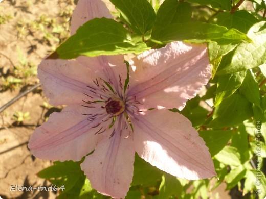 Рада встрече со всеми и приглашаю взглянуть на одни из моих любимых цветов-это клематисы! Нет, цветы я люблю все без исключения,но клематисы......Это-,,Надежда,, фото 3