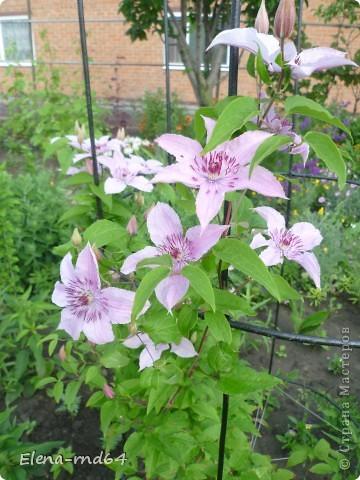 Рада встрече со всеми и приглашаю взглянуть на одни из моих любимых цветов-это клематисы! Нет, цветы я люблю все без исключения,но клематисы......Это-,,Надежда,, фото 4