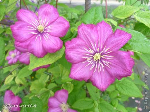 Рада встрече со всеми и приглашаю взглянуть на одни из моих любимых цветов-это клематисы! Нет, цветы я люблю все без исключения,но клематисы......Это-,,Надежда,, фото 5