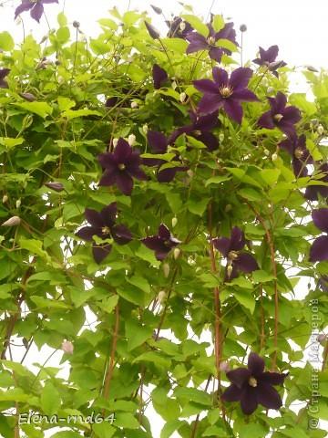 Рада встрече со всеми и приглашаю взглянуть на одни из моих любимых цветов-это клематисы! Нет, цветы я люблю все без исключения,но клематисы......Это-,,Надежда,, фото 7