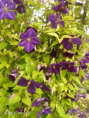 Рада встрече со всеми и приглашаю взглянуть на одни из моих любимых цветов-это клематисы! Нет, цветы я люблю все без исключения,но клематисы......Это-,,Надежда,, фото 9