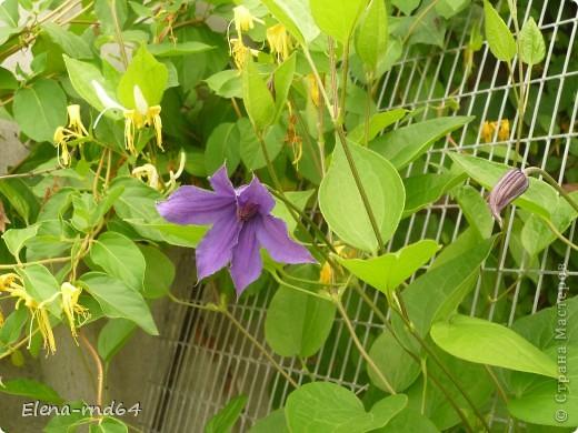 Рада встрече со всеми и приглашаю взглянуть на одни из моих любимых цветов-это клематисы! Нет, цветы я люблю все без исключения,но клематисы......Это-,,Надежда,, фото 10