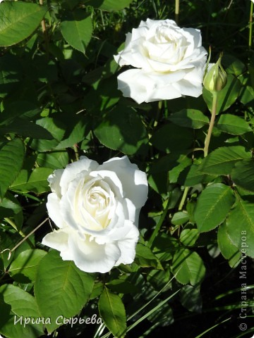 Раннее утро,розы в росе. фото 7