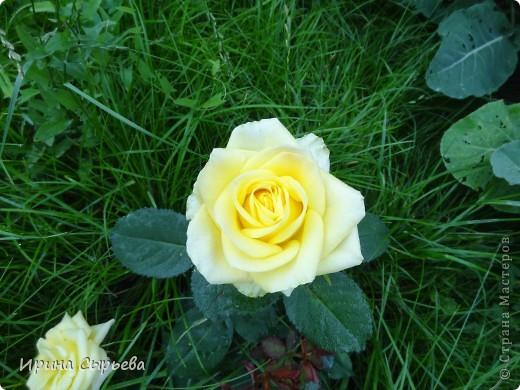 Раннее утро,розы в росе. фото 9