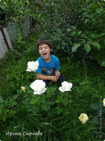 Раннее утро,розы в росе. фото 12