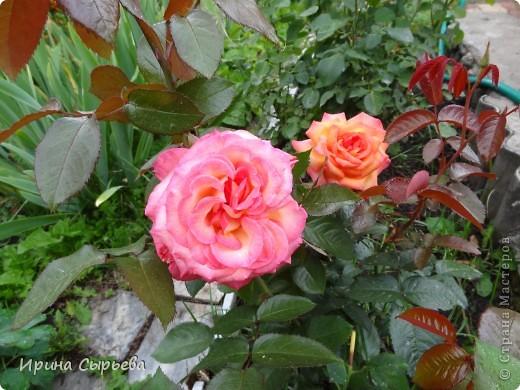 Раннее утро,розы в росе. фото 10