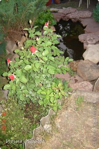 Раннее утро,розы в росе. фото 5