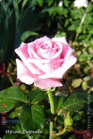 Раннее утро,розы в росе. фото 1