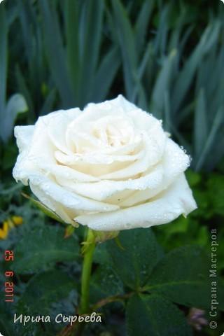 Раннее утро,розы в росе. фото 4