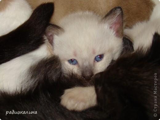 Это Настя и Персик, единственный котенок осавшийся у нас в семье и выросший у нас любимцем всей семьи. Его нам вернули за его разговорчивость. фото 9