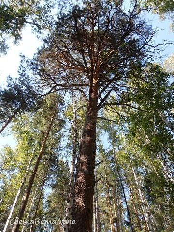 ........приглашаю вас прогуляться по лесу..........кругом тишина.........птички поют.........деревья перешептываются......... фото 13