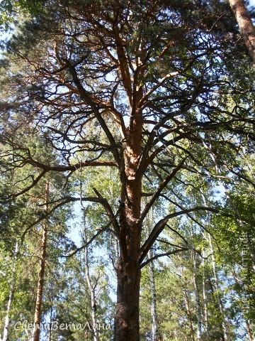 ........приглашаю вас прогуляться по лесу..........кругом тишина.........птички поют.........деревья перешептываются......... фото 14