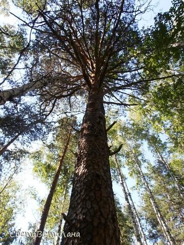 ........приглашаю вас прогуляться по лесу..........кругом тишина.........птички поют.........деревья перешептываются......... фото 16