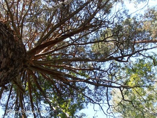 ........приглашаю вас прогуляться по лесу..........кругом тишина.........птички поют.........деревья перешептываются......... фото 17