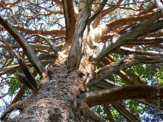 ........приглашаю вас прогуляться по лесу..........кругом тишина.........птички поют.........деревья перешептываются......... фото 21