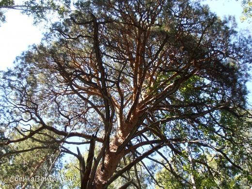 ........приглашаю вас прогуляться по лесу..........кругом тишина.........птички поют.........деревья перешептываются......... фото 22