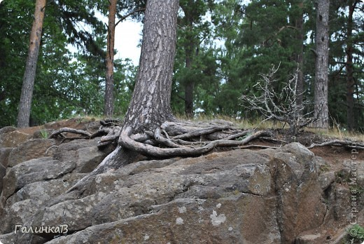 Сегодня предлагаю вашему вниманию просто фото с Валаама. Они сделаны в разных местах и в разное время, но не сфотографировать такую красоту было просто выше моих сил. Вот так на Валааме растут деревья. фото 1