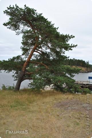 Сегодня предлагаю вашему вниманию просто фото с Валаама. Они сделаны в разных местах и в разное время, но не сфотографировать такую красоту было просто выше моих сил. Вот так на Валааме растут деревья. фото 7