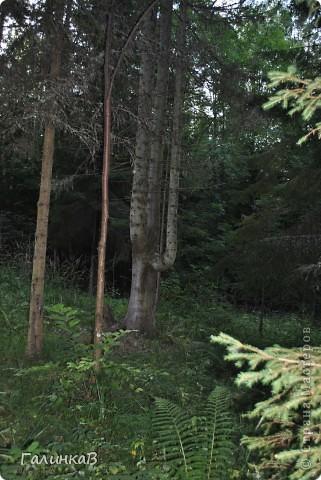 Сегодня предлагаю вашему вниманию просто фото с Валаама. Они сделаны в разных местах и в разное время, но не сфотографировать такую красоту было просто выше моих сил. Вот так на Валааме растут деревья. фото 14