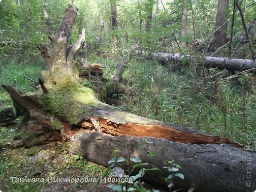 Здравствуйте мои дорогие жители СТРАНЫ МАСТЕРОВ! Сегодня мы с вами идём на прогулку в лес. Я живу в маленьком городке Удомля Тверской области, в пяти километрах от КАЭС (Калининской Атомной Электростанции). Лес, в который мы отправимся, виден из окна моего дома. Говорят, что лес - наше богатство. А так это или нет, мы и должны в этом убедиться. И так, всё по порядку: Это большая ель, с неё-то и начинается лес, а наверху на веточках пристроились шишки.  фото 23