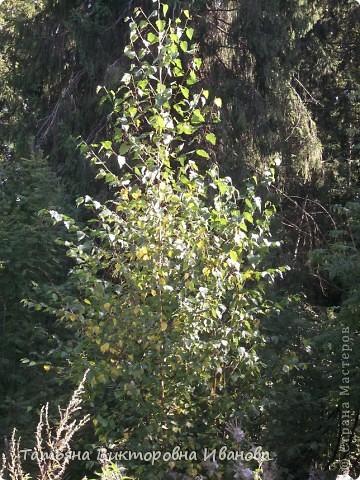 Здравствуйте мои дорогие жители СТРАНЫ МАСТЕРОВ! Сегодня мы с вами идём на прогулку в лес. Я живу в маленьком городке Удомля Тверской области, в пяти километрах от КАЭС (Калининской Атомной Электростанции). Лес, в который мы отправимся, виден из окна моего дома. Говорят, что лес - наше богатство. А так это или нет, мы и должны в этом убедиться. И так, всё по порядку: Это большая ель, с неё-то и начинается лес, а наверху на веточках пристроились шишки.  фото 6
