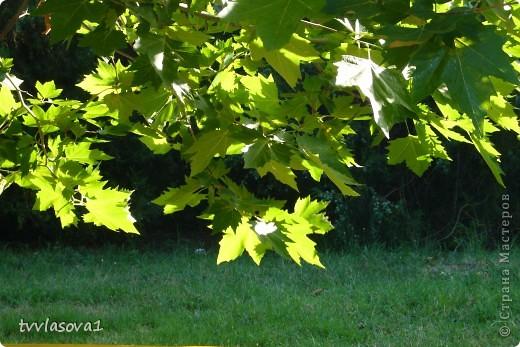 листочки клена нежатся в лучах солнечного света... фото 1