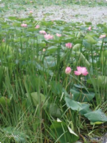 мы плавали на остров Путятин смотреть цветение лотоса и вот решила показать вам. фото 6