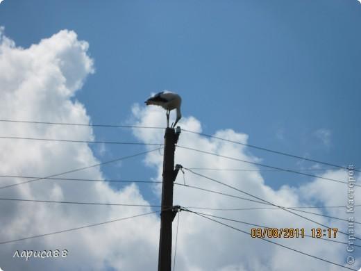В этом году у соседей по даче поселились журавли, свили гнездо и конечно же появились журавлята. Ничего нового в этом нет. фото 2