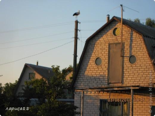 В этом году у соседей по даче поселились журавли, свили гнездо и конечно же появились журавлята. Ничего нового в этом нет. фото 3