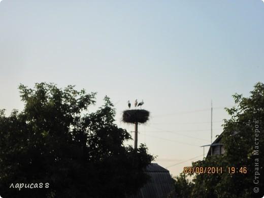 В этом году у соседей по даче поселились журавли, свили гнездо и конечно же появились журавлята. Ничего нового в этом нет. фото 1