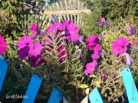Петунии! Какой только расцветки только нет! И махровые, и не махровые...  фото 11