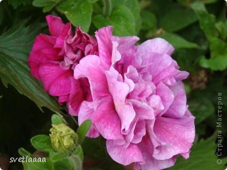 Петунии! Какой только расцветки только нет! И махровые, и не махровые...  фото 15